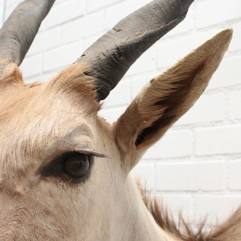 1539436933 11 Eland Antilope 026 03