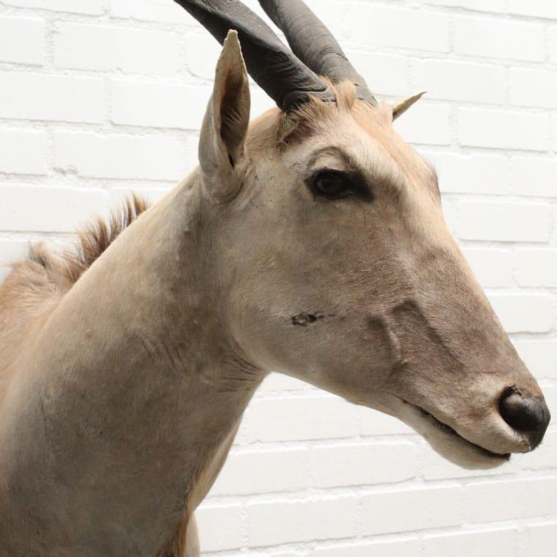 1539436933 11 Eland Antilope 026 05