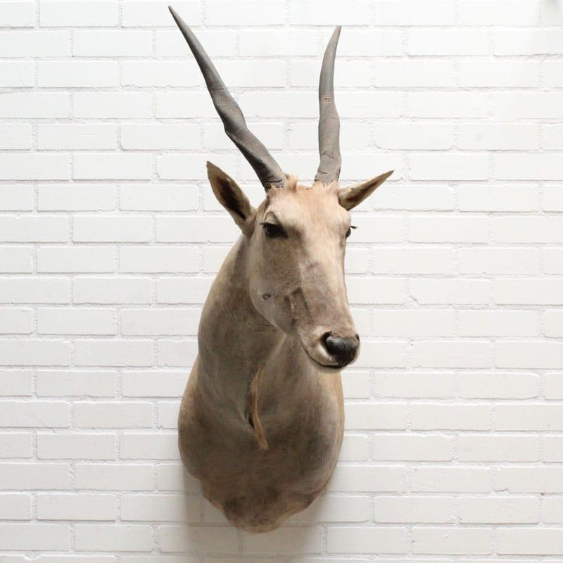1539436933 11 Eland Antilope 026 06