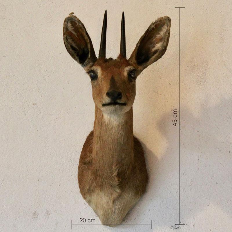 Steenbok Antilope