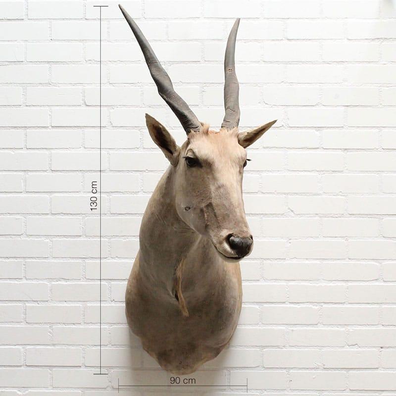 Eland Antilope Emma
