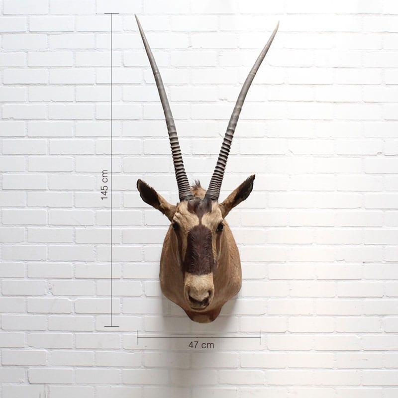 Oryx Gemsbok Max
